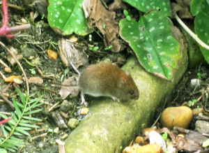 Likely Bank Vole .....