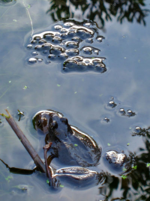 Spawning frogs