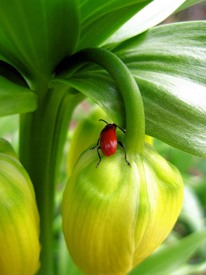 Reticent lily beetle
