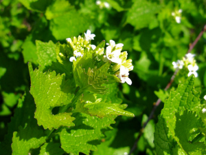 Garlic mustard in flower