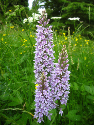 A trio of Common Spotted Orchids