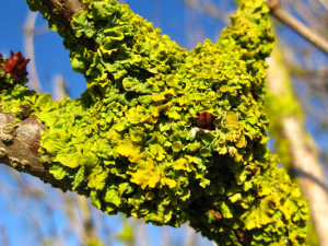 Lichen on Elder