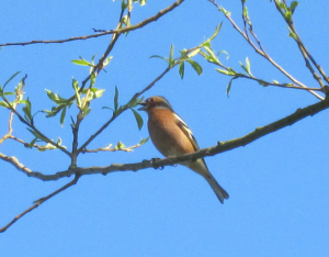 Chaffinch sings the blues