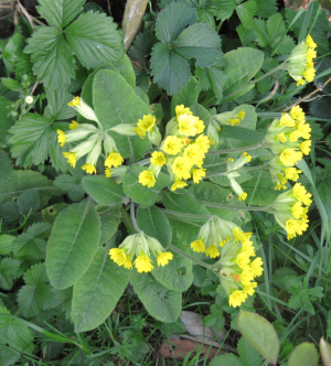 Cowslip or Oxslip?