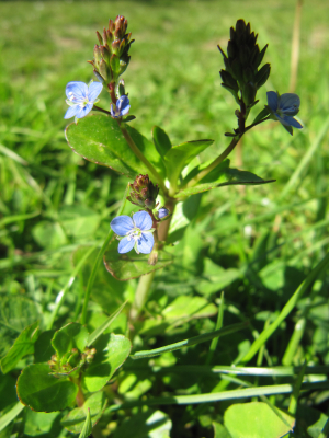 Thyme-leaved Speedwell?