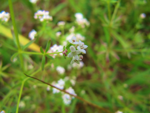 Common Marsh-bedstraw?