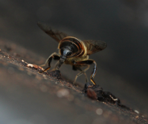 Large hoverfly laying eggs