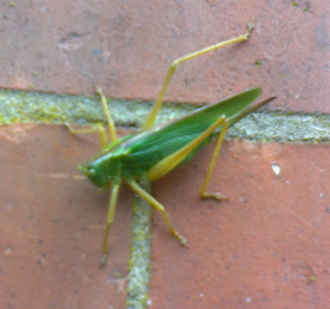 Oak bush Cricket