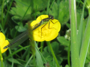 Help with ID for female damselfly please