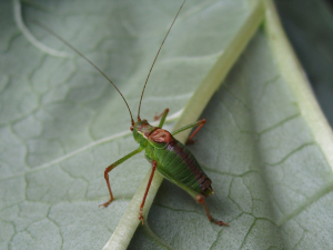 Bush cricket?
