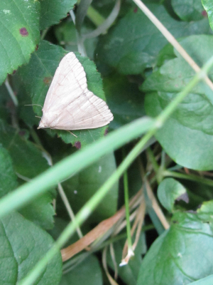Small pale brown moth