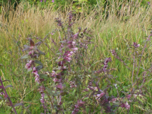 Red Bartsia