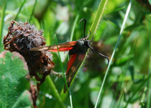 Small (2-3cm) red and black moth/butterfly