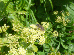 Unidentified fly on alexanders flower.