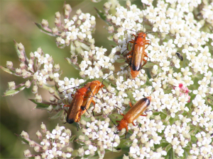 Common Red Soldier Beetle?