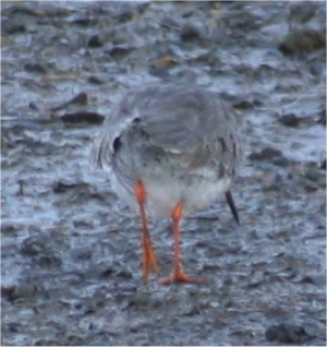 Maybe Redshank?