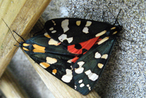Two colourful moths