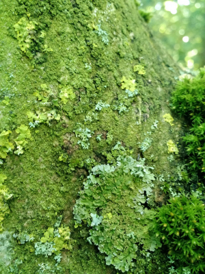 Lichens on an Ash Tree