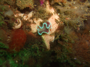 Nudibranch 23