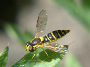 Hoverfly with Bold Yellow Side-stripes on Shiny Mahogany-coloured Thorax