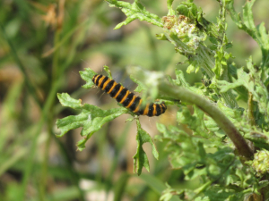 Yellow and black striped carerpillar