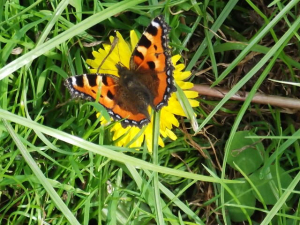 Painted lady Bewdley 1.9.13