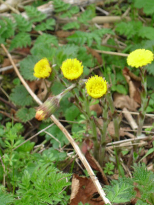 Coltsfoot 2.4.11
