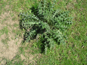 Type of thistle