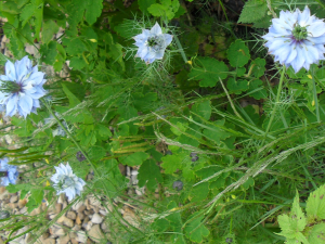 Blue Love-in-a Mist