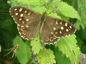 Speckled WoodButterfly