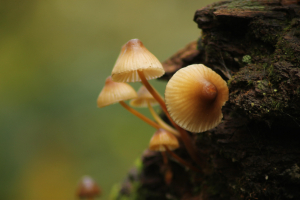 Mycena inclinata..Tufted Bell Cap, Savernake Forest