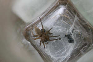A male Mouse Spider?