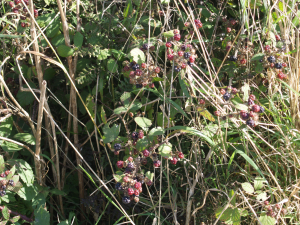 Blackberries in hedgerow
