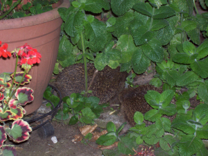 Hedgehogs courting