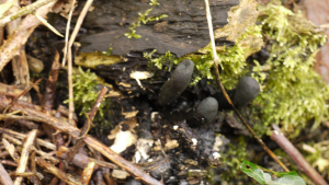 Xylaria longipes, 28/10/2015