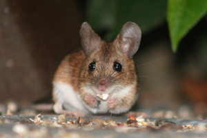 Wood mouse     Apodemus sylvaticus