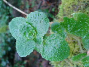 Opposite leaved Golden saxifrage?