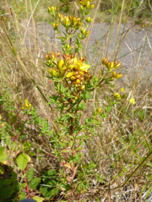 Perforate St Johns Wort?