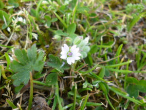 Small flowered crane's-bill?