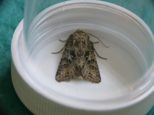 Unidentified moth - possibly  Lychnis?