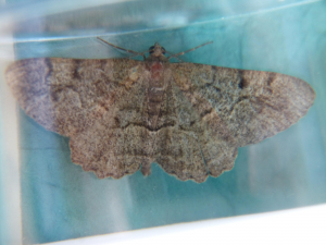 Unknown moth - possibly Mottled Beauty