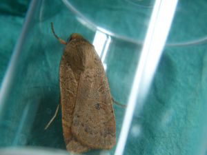 Lesser Yellow Underwing Moth ???