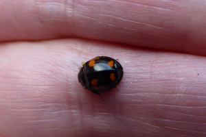 Not very big black ladybird with red spots