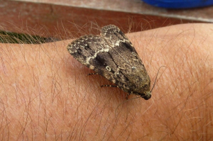 Unidentified moth in pub garden