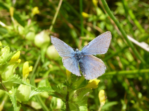 What type of Blue Butterfly?