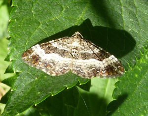 What type of Carpet Moth??