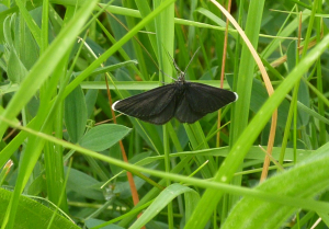 Chimney Sweeper (& Common Blue)