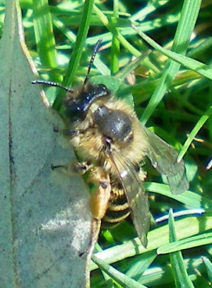 Andrena flavipes f Medway Campus 060411