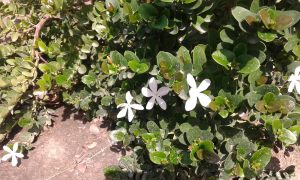 Plant with Jasmine -like flower and scent