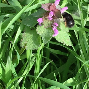 Black Bumble bee on Green Alkanet